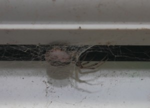 False Widow Spider in Spider Web